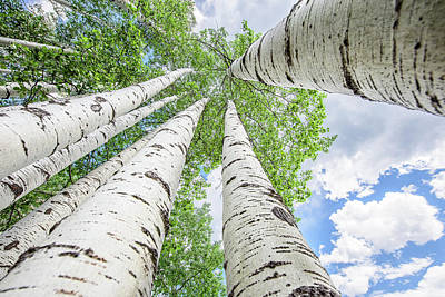 Photograph - Lost Among The Aspen Trees by Cathy Neth