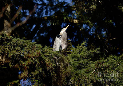 Photograph - Lost Lagoon Great Blue Heron 5 by Terry Elniski