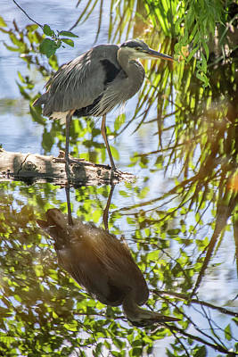 Photograph - Lost Lagoon Heron Reflections by Ross G Strachan