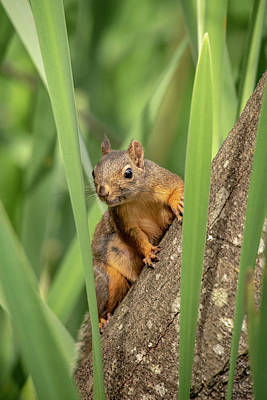 Photograph - Lost Lagoon Squirrel by Ross G Strachan