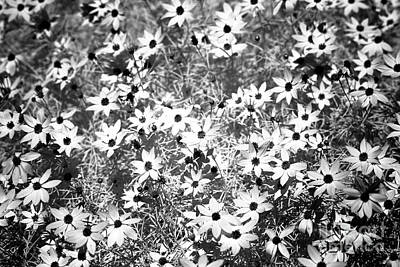 Lots Of Black-eyed Susans Infrared Art Print by John Rizzuto