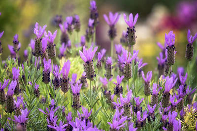 Photograph - Lots Of Lavender  by Saija Lehtonen