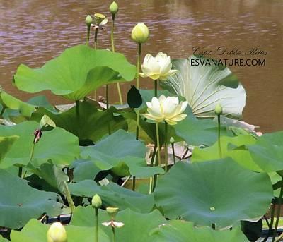 Photograph - Lotus 8792 by Captain Debbie Ritter