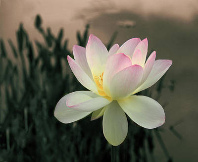 Photograph - Lotus Afloat by Jessica Jenney