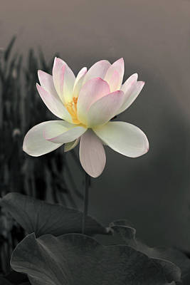 Photograph - Lotus Alight by Jessica Jenney
