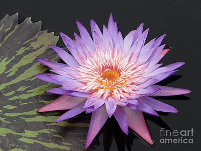Photograph - Lotus And Leaf Counterpoint by Barbie Corbett-Newmin