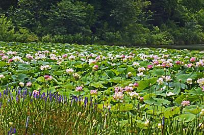 Lotus And Pickerelweed Art Print by Paul Mashburn
