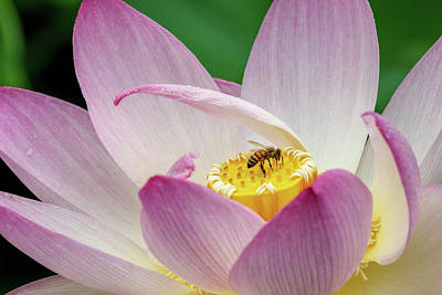Photograph - Lotus And The Pollinator by Richard Macquade