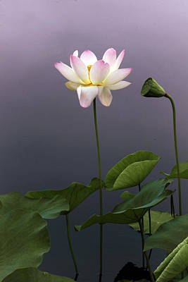 Photograph - Lotus Ascending by Jessica Jenney
