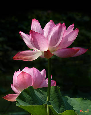 Photograph - Lotus Beauties--upstaged Dl048 by Gerry Gantt