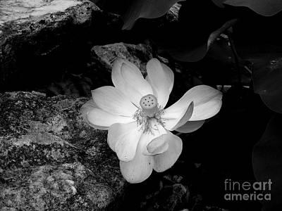 Photograph - Lotus Beautiful by Nancy Kane Chapman