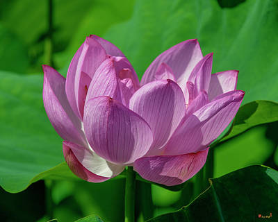 Photograph - Lotus Beauty--buxom Beauty I Dl0089 by Gerry Gantt