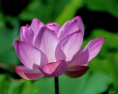 Photograph - Lotus Beauty--buxom Beauty II Dl0090 by Gerry Gantt