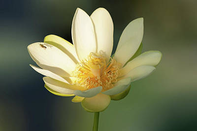 Art Print featuring the photograph Lotus Beauty by Carolyn Dalessandro