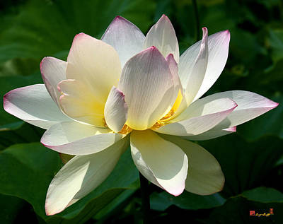 Photograph - Lotus Beauty--disheveled Dl061 by Gerry Gantt