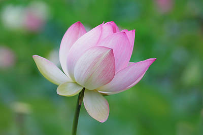 Photograph - Lotus Bloom by Ram Vasudev