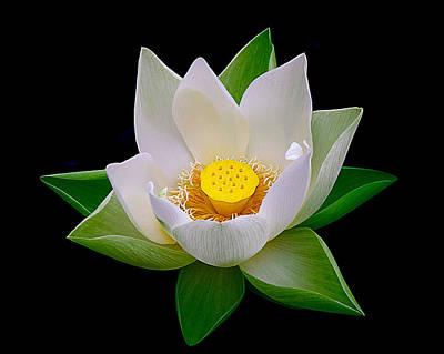 Lotus Blooming Art Print by Julie Palencia