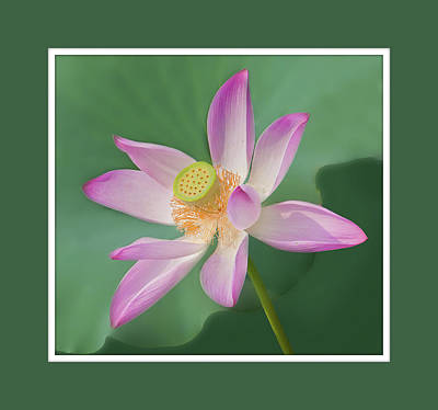 Photograph - Lotus Blossom by Alan Toepfer