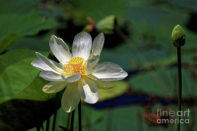 Photograph - Lotus Blossom by Paul Mashburn