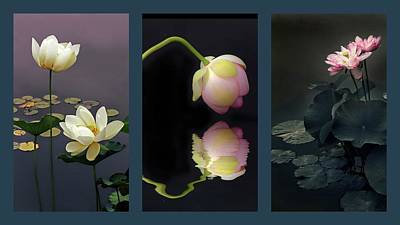 Photograph - Lotus Blossom Triptych by Jessica Jenney