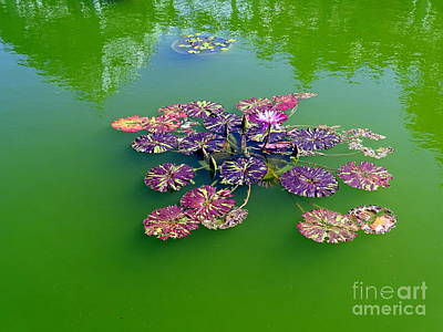 Photograph - Lotus Flowers #3 by Ed Weidman