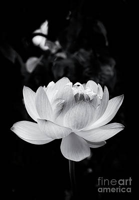 Photograph - Lotus Boli Furen Monochrome by Tim Gainey