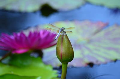 Photograph - Lotus Bud And Dragonfly by Maria Urso