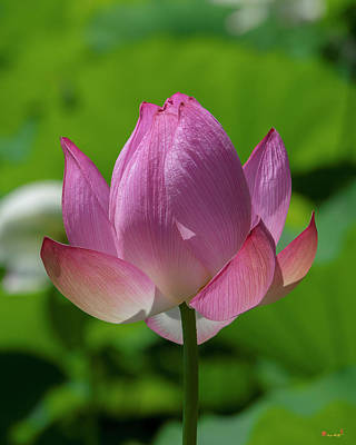 Photograph - Lotus Bud--opening Up II Dl0091 by Gerry Gantt