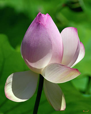 Photograph - Lotus Bud--showing A Blush Of Pink II Dl0092 by Gerry Gantt