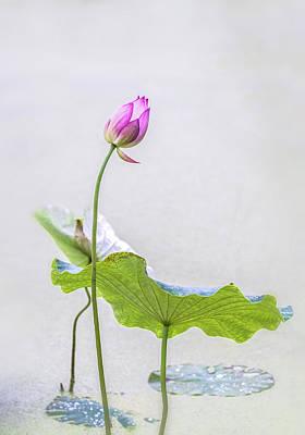 Photograph - Oriental Style Lotus Bud. by Usha Peddamatham