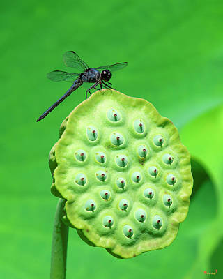 Photograph - Lotus Capsule And Slaty Skimmer Dragonfly Dl0106 by Gerry Gantt