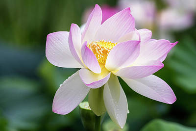 Photograph - Lotus by Edward Kreis