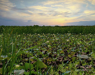 Photograph - Lotus Fields II by Ken Frischkorn
