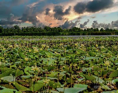 Photograph - Lotus Fields  by Ken Frischkorn