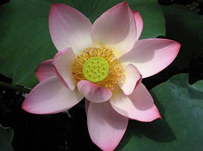 Photograph - Lotus Flower 2 by Sami Tiainen
