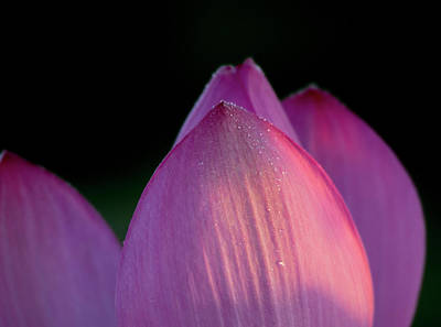 Photograph - Lotus Flower 2017 1 by Buddy Scott