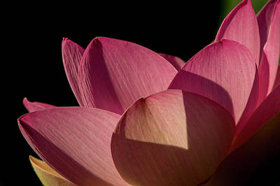 Art Print featuring the photograph Lotus Flower 5 by Buddy Scott