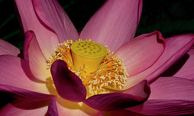 Art Print featuring the photograph Lotus Flower 6 by Buddy Scott