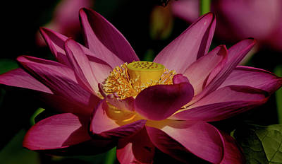 Art Print featuring the photograph Lotus Flower 7 by Buddy Scott