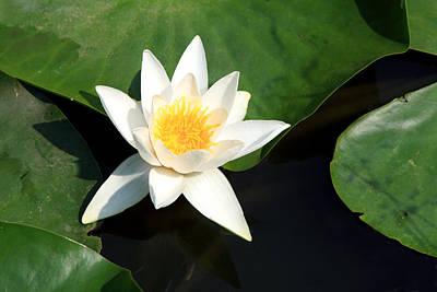 Photograph - Lotus Flower by Aidan Moran