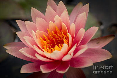 Lotus Flower Art Print by Ana V Ramirez