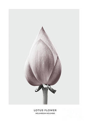 Lotus Flower Bud Art Print