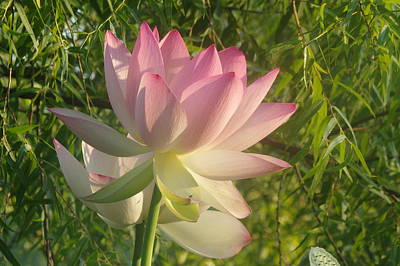 Photograph - Lotus Flower by Buddy Scott