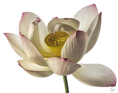 Photograph - Lotus Flower by Endre Balogh