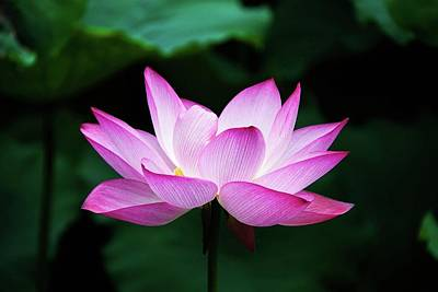 Photograph - Lotus Flower by Hong Zhang