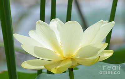 Lotus Flower In Full Bloom  Art Print