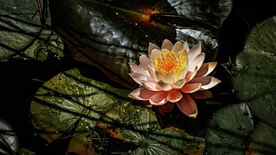 Garden Fruits - Lotus flower in pond 1 by Mike Penney