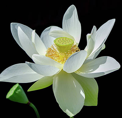Photograph - Lotus Flower Of Devotion by Julie Palencia