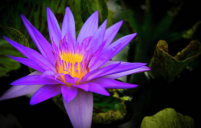 Photograph - Lotus Flower by Philip Rispin