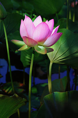 Photograph - Lotus Flower by Ram Vasudev